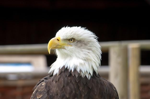 Retrato de uma bela águia americana