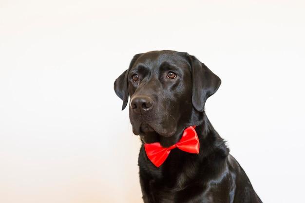 Retrato de uma bela jovem labrador preto vestindo uma gravata borboleta vermelha. ele está olhando para a câmera. fundo branco