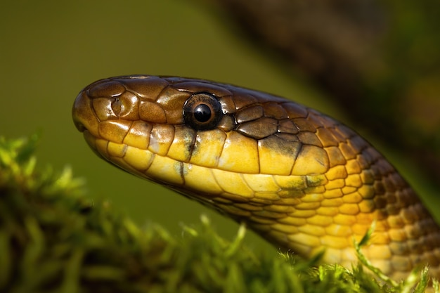 Retrato de uma cobra esculápia olhando para a natureza de verão
