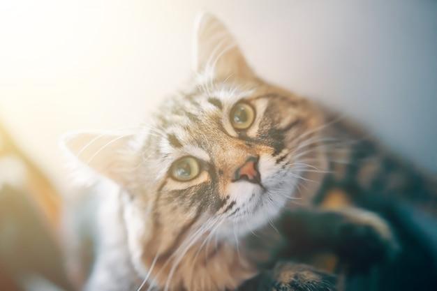 Retrato de uma cor listrada de olhos verdes do gato cinzento.