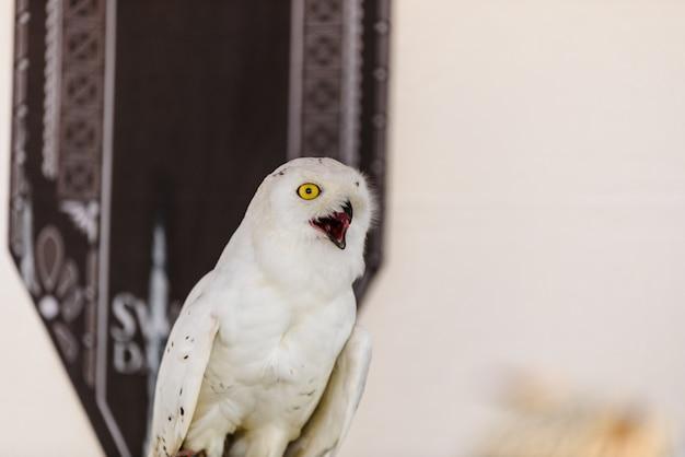 Retrato de uma coruja branca, scandiacus do bubão, no captiveiro.