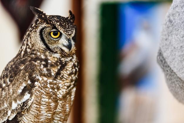 Retrato de uma coruja de águia, bubão do bubão, cativo de olhos brilhantes em um festival da falcoaria.