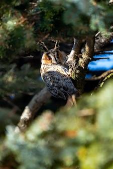 Retrato de uma coruja orelhuda em um galho na floresta