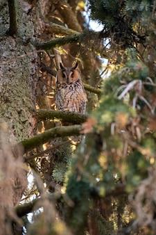 Retrato de uma coruja orelhuda na floresta