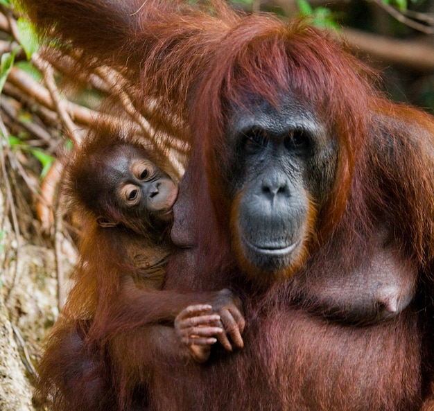 Retrato de uma fêmea orangotango com um bebê na selva. indonésia. a ilha de kalimantan (bornéu).