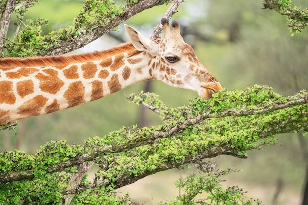 Retrato de uma girafa alta da áfrica do sul com pescoço comprido comendo folhas de galhos de árvores na savana