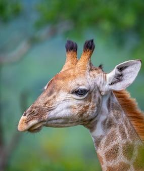 Retrato de uma girafa com árvores