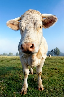 Retrato de uma grande vaca branca pela manhã
