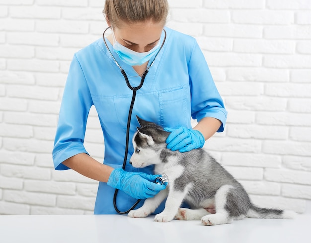 Retrato de uma jovem veterinária ouvindo batimento cardíaco, preocupando-se com o cão husky, como o lobo de olhos azuis. doutor em uniforme azul segurando o cachorrinho husky, que está sentado na mesa. conceito de veterinário.