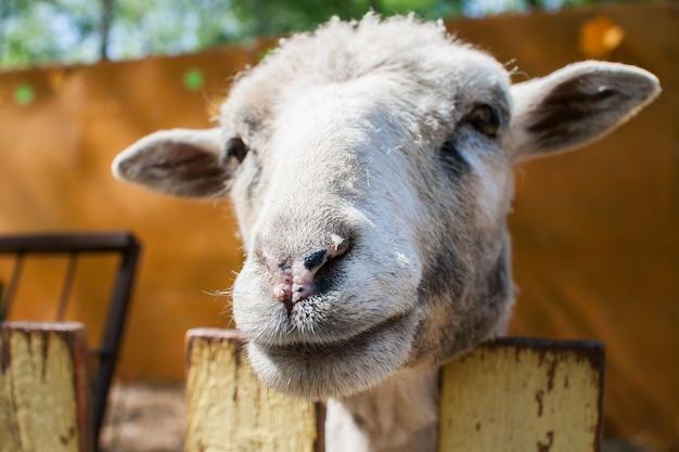 Retrato de uma ovelha espiando por trás de uma cerca em um zoológico de contato