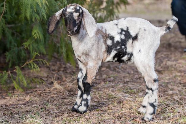 Retrato de uma pequena cabra boer sul-africana dormindo na natureza