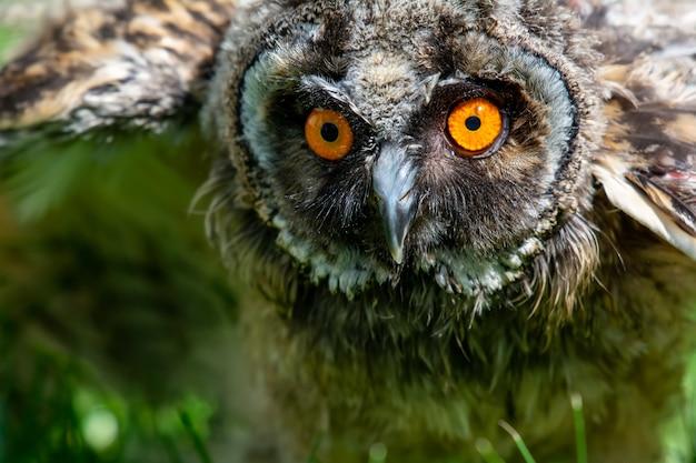 Retrato de uma pequena coruja orelhuda sobre a grama verde