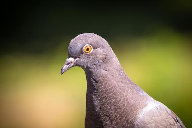Retrato de uma pomba cinza em tempo ensolarado