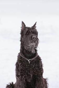 Retrato de uma raça de cachorro riesengschnauzer