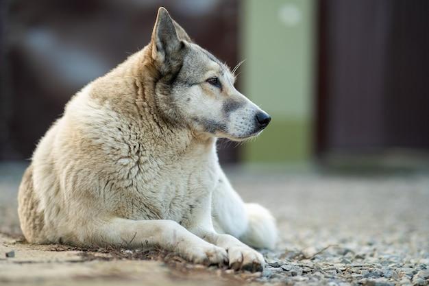 Retrato de uma raça siberian ocidental laika do cão que senta-se ao ar livre em uma jarda.