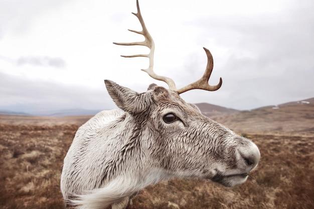 Retrato de uma rena em um parque natural na escócia