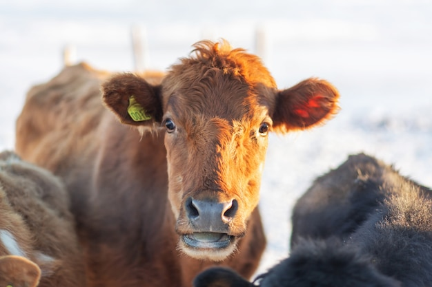 Retrato de uma vaca islandesa em uma fazenda no inverno na neve