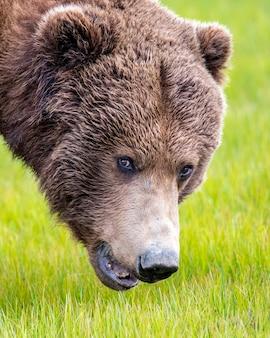 Retrato de urso pardo da península do alasca