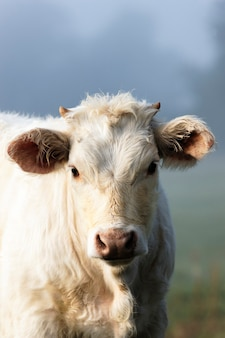 Retrato de vaca branca e névoa no outono