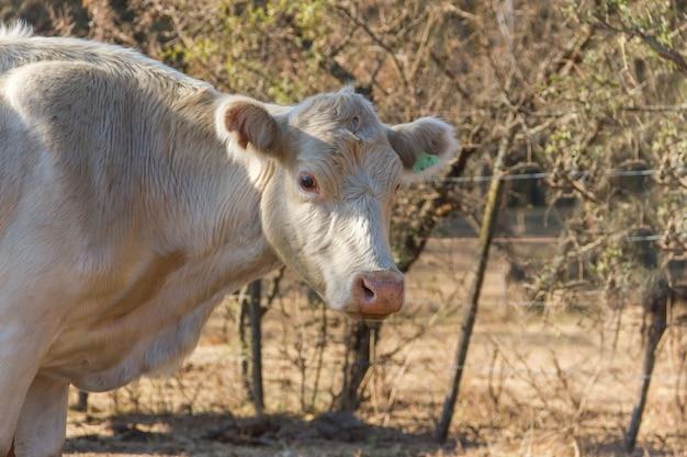 Retrato de vaca leiteira sentada no campo