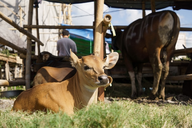 Retrato de vaca ou touro marrom em uma fazenda tradicional da indonésia
