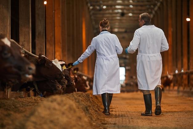 Retrato de vista traseira de dois veterinários no galpão de vacas se afastando da câmera enquanto inspeciona o gado na fazenda