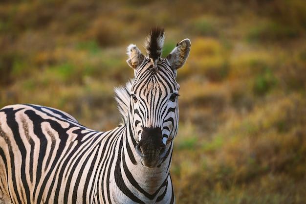 Retrato de zebra no parque nacional da áfrica do sul