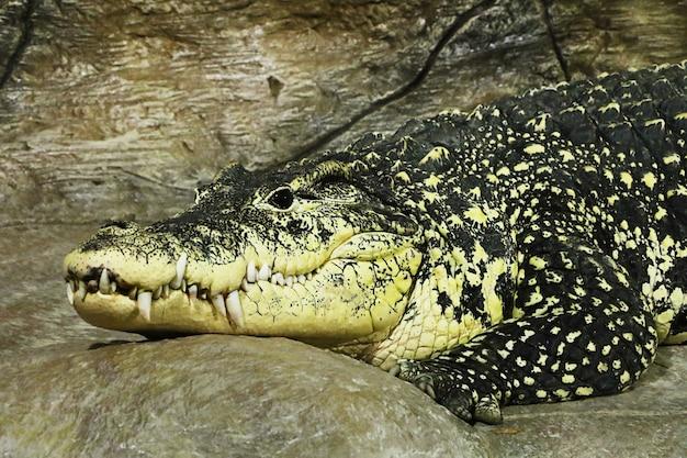 Retrato detalhado de crocodilo deitado no zoológico.