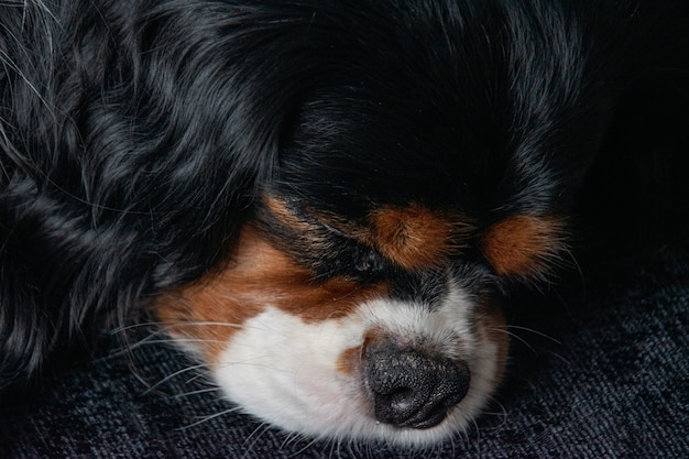 Retrato do adorável cavalier king charles spaniel dormindo no convés