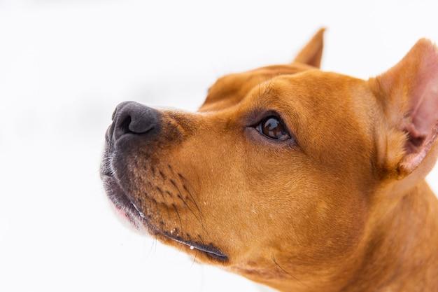 Retrato do cão marrom da pedigree na neve. staffordshire terrier