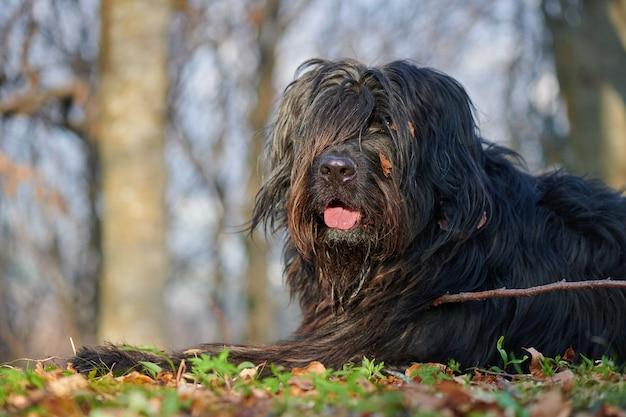 Retrato do cão pastor bergamasco na floresta