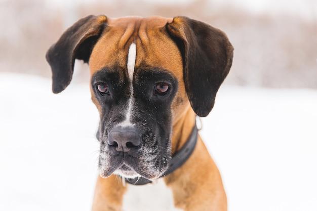 Retrato do cão pedigreed marrom na neve. boxer.
