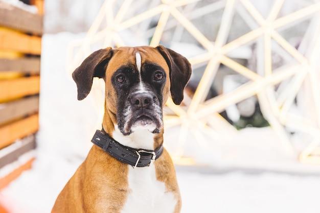 Retrato do cão pedigreed marrom que senta-se na casa de madeira. boxer