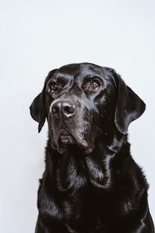 Retrato do cão preto bonito de labrador em casa.