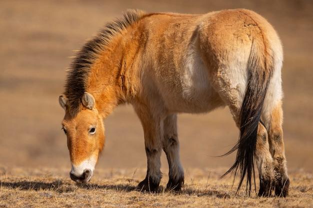 Retrato do cavalo de przewalskis na luz suave e mágica durante o inverno na mongólia