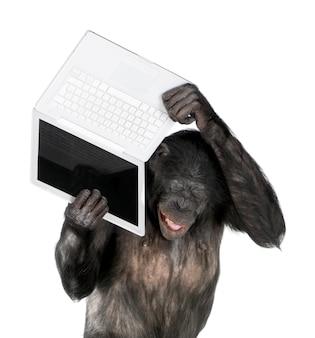 Retrato do chimpanzé no branco isolado. (raça mista entre chimpanzé e bonobo)