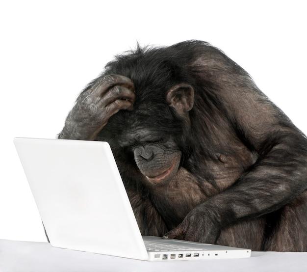 Retrato do chimpanzé, tiro do estúdio. (raça mista entre chimpanzé e bonobo)