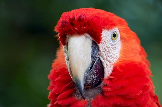 Retrato do close-up de arara vermelha