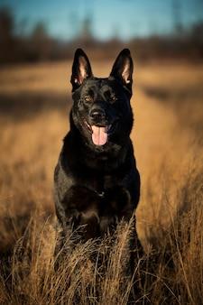 Retrato do close-up de cachorro vira-lata preto grande bonito andando no prado de outono.