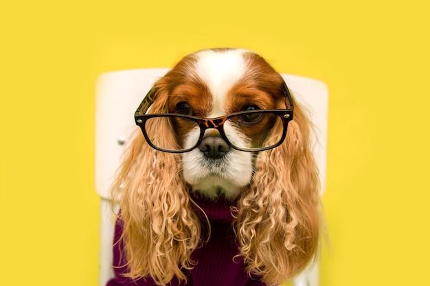 Retrato do close-up de cão fofo puro-sangue com orelhas compridas, usando óculos e suéter na parede amarela. cavalier king charles spaniel