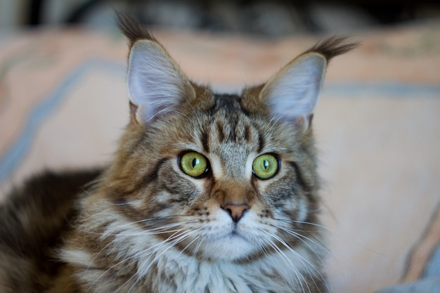 Retrato do close-up de gatinho malhado maine coon, foco seletivo