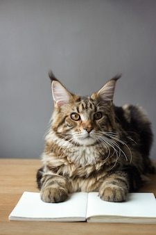 Retrato do close-up de gato maine coon sentado em uma mesa de madeira e lendo um livro