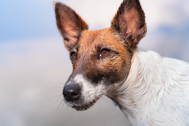 Retrato do close-up de um cão do terrier de raposa liso molhado. a cabeça de um cachorro depois de nadar, cena iluminada pelo sol natural