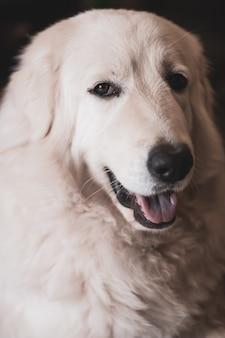 Retrato do close-up de um cão pastor maremma amável e fofo. pelagem branca espessa. boca aberta. foco seletivo nos olhos.