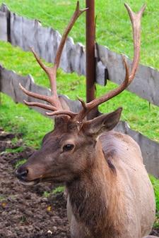 Retrato do close-up de um cervo com chifres no curral em um fundo de grama verde. fazenda de veados.
