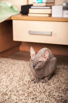 Retrato do close up de um gato de esfinge cinzento em casa. gato brinca em casa e copia o espaço.