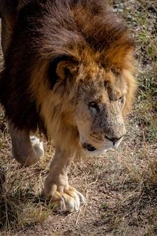 Retrato do close-up de um magnífico leão. o leão olha para o lado, filmado de cima.