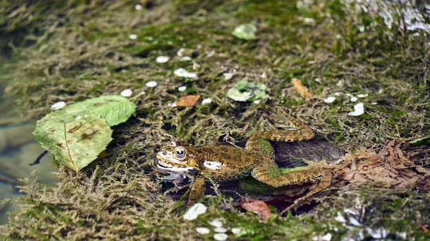 Retrato do close-up de um sapo no pântano. sochi