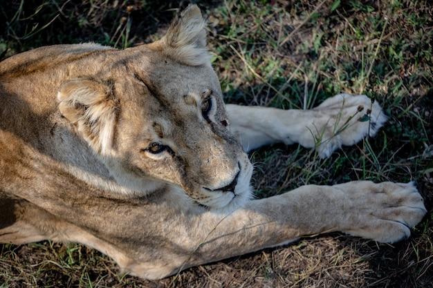 Retrato do close-up de uma leoa. ela deita na grama e olha para a câmera. vista de cima. taigan park