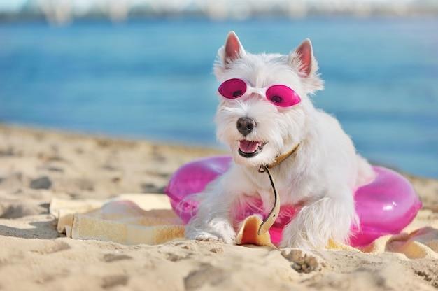Retrato do close-up de westie no resort para cães